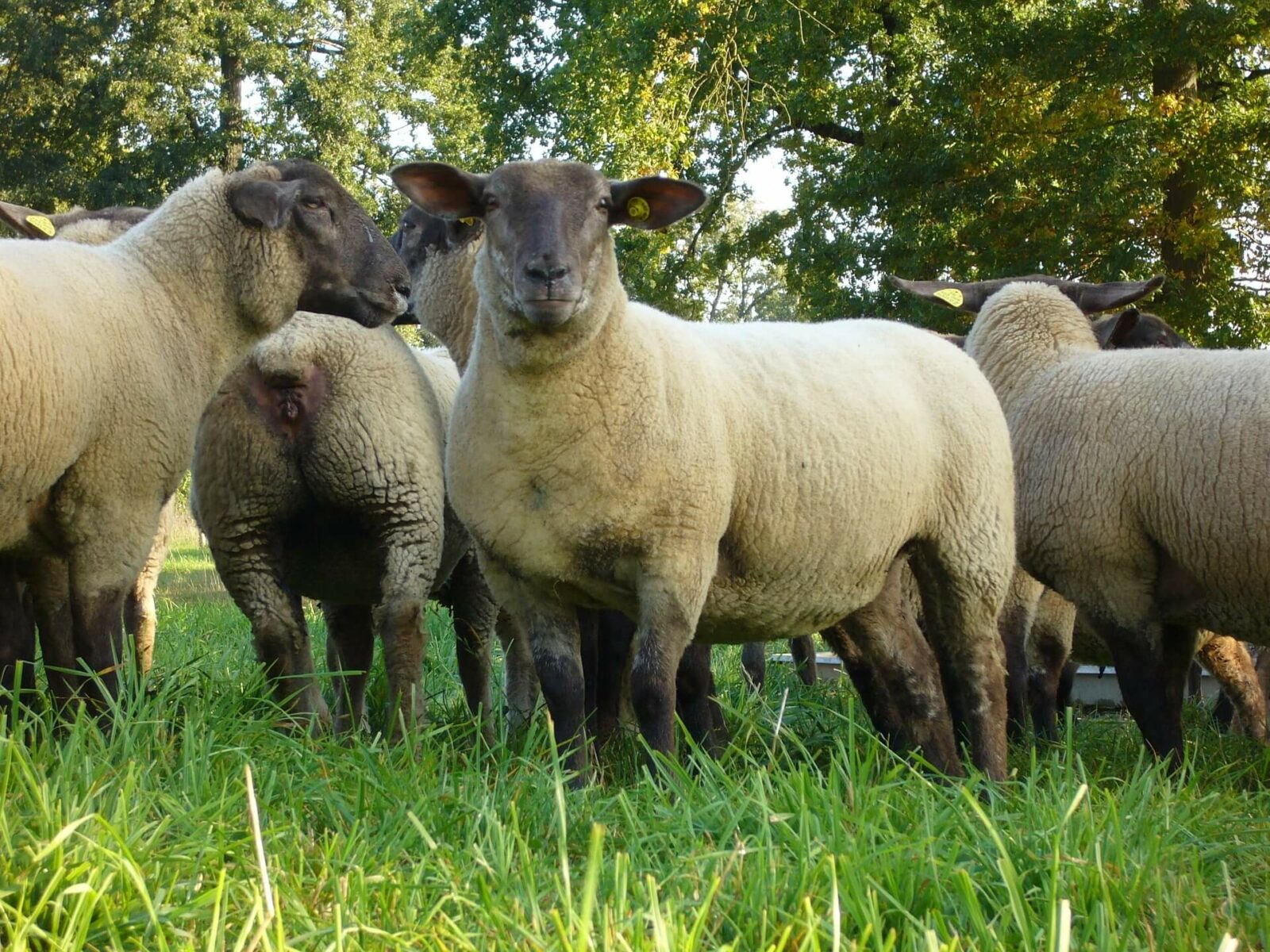 Мясное овцеводство