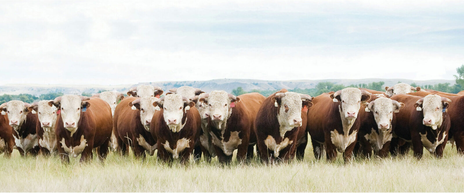 Проект фермы для откорма бычков крупного рогатого скота