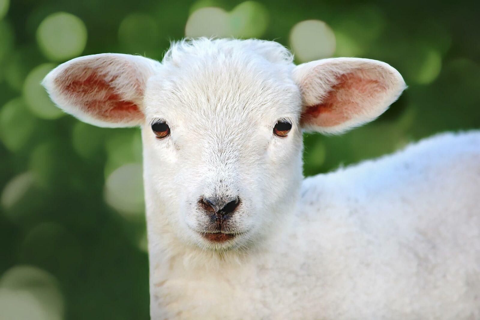 Технологический проект мясной овцеводческой фермы