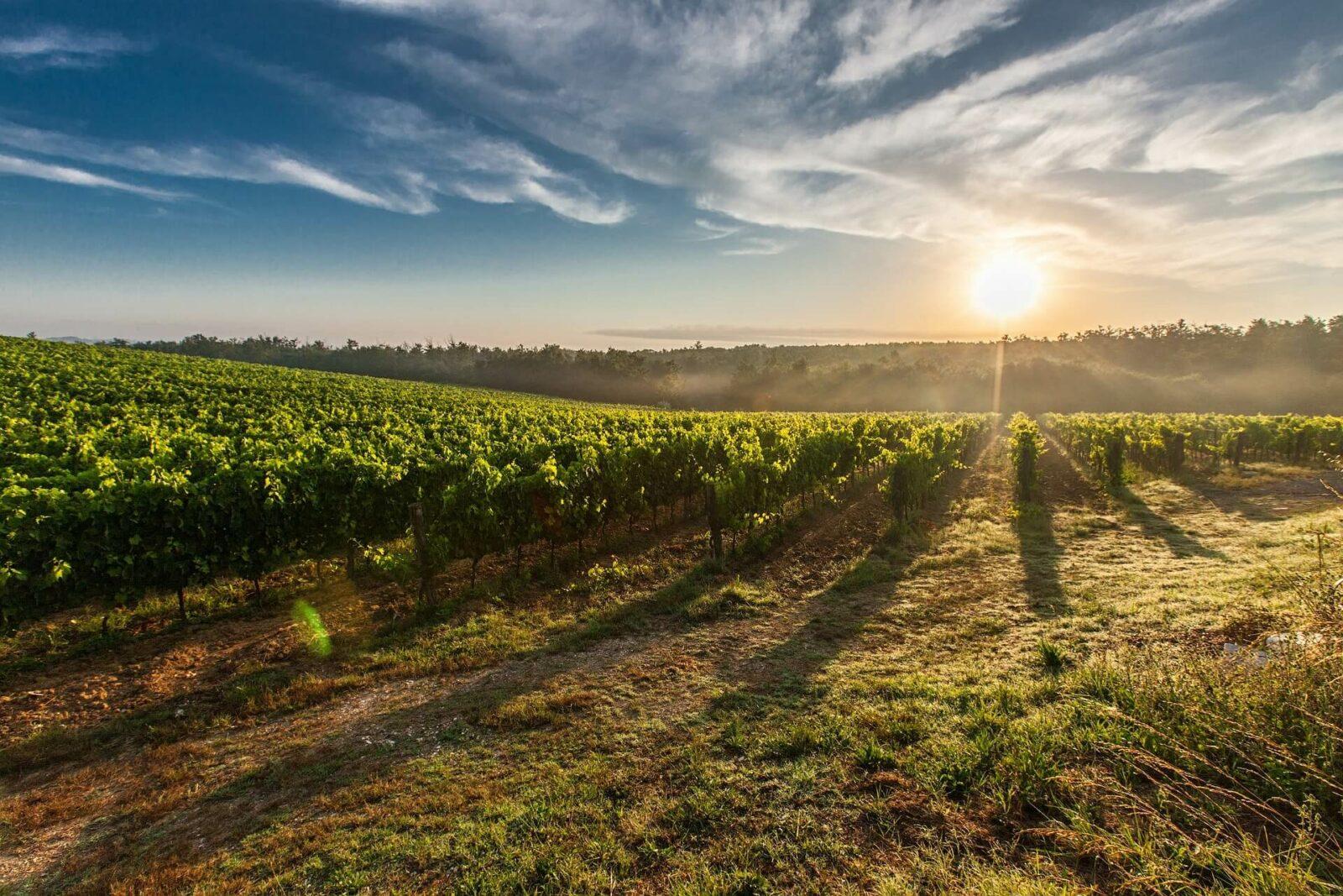 Проект виноградника