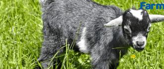 Выпаивание козлят молозивом