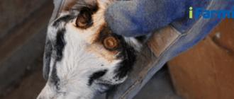 Обезроживание козлят
