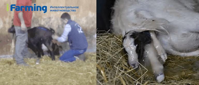 Окот. Рождение козлят.