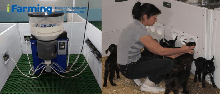 Как приучить козлят к станции выпойки?