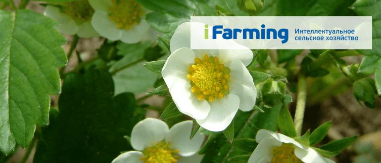 Производственный план выращивания клубники