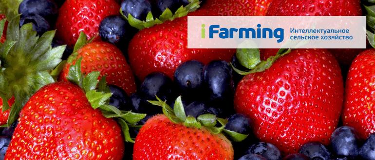 Бизнес: выращивание ягоды