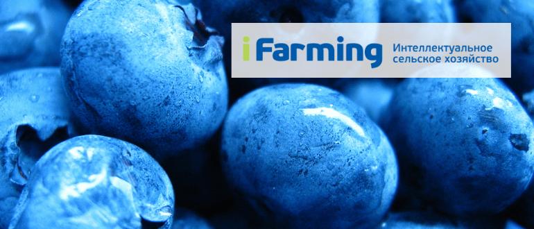 Высокорослая крупноплодная голубика (Vaccinium corymbosum L.) - это многолетний кустарник семейства Вересковые.
