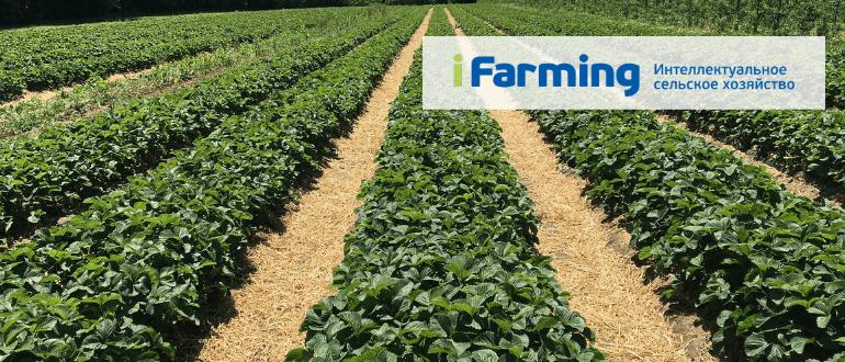 Технология выращивания земляники