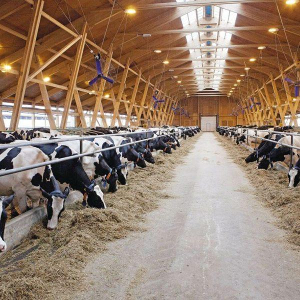 Молочная товарная ферма крупного рогатого скота